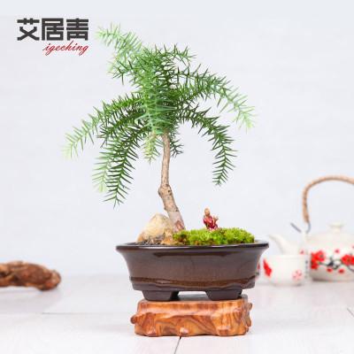 艾居青中式盆景澳洲杉趣味艺术客厅植物盆栽净化空气